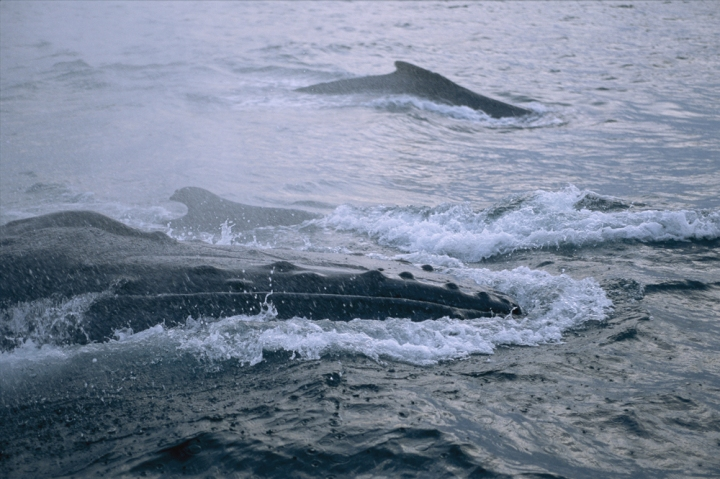 Photograph of humpback whales off the coast of Gabon by Michael Nichols, National Geographic
