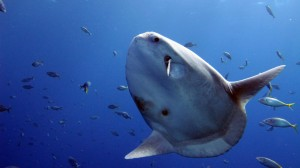 The mola mola that the team saw. Photograph by Alan Friedlander