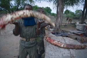 An anti-poaching team returns from patrol with elephant tusks. The poachers were not caught. Photograph by Michael Nichols