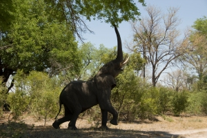 An African elephant reaching up to feed on the upper branches of a tree. Photograph by Jodi Cobb