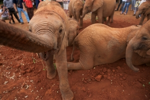 Baby elephants play in the dirt in front of visitors to their refuge. Photograph by Michael Nichols