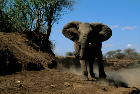 Elephants are slaughtered for their ivory tusks, which are used as decorative items. Photograph by Chris Johns