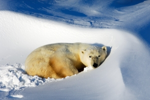 A polar bear chills out in the Canadian Arctic.Photograph by David Schultz