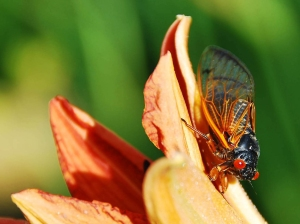 "Cicadas are big, red-eyed, harmless insects that burrow underground and stay put for 17 years. (Yes, 17 years.) When millions emerge from their underground burrow, the buzzing ""cicada-pocalypse"" signals springtime on the East Coast.  Photograph by Brad Taylor"