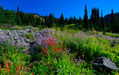 Wildflowers bloom in Mount Rainier National Park in Washington state. Photograph by Paul Thomson, My Shot