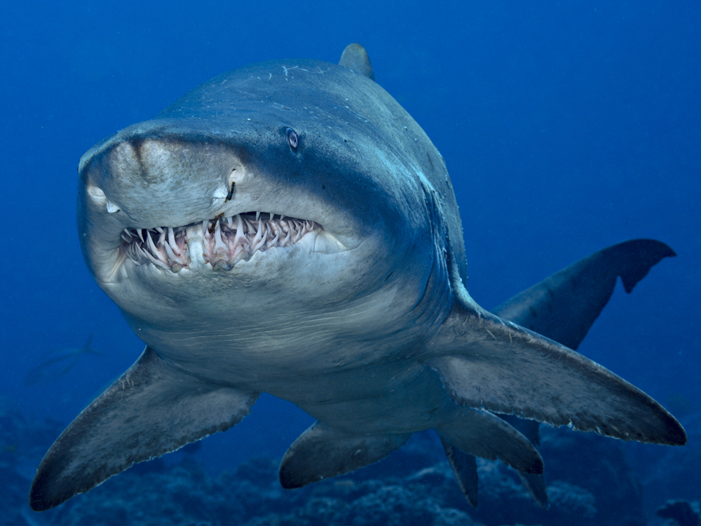 Sand tiger sharks are ...