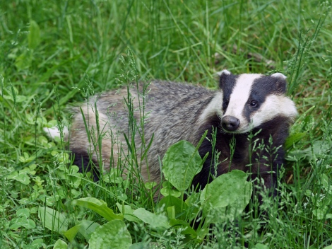 A weasel so nice they named it twice (Meles meles), European badgers are popular figures in the mythic and cultural identity of Great Britain. They are also carriers of bovine tuberculosis, and are the targets of a much-debated cull to protect farmers and livestock. Photograph by Kallerna, courtesy Wikimedia Commons