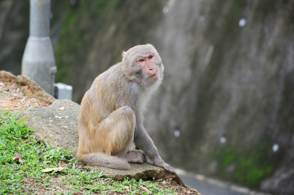 A Rhesus Macaque sits by the road in Kam Shan Country Park, Hong Kong, 2013. (Photograph by Laurel Chor)