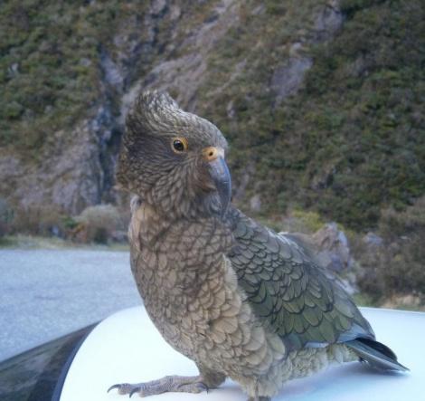 NZbird