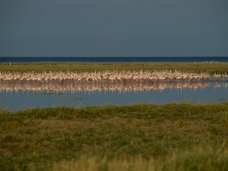 Lesser flamingos feed in a pool along the shore of Lake Turkana, where enormous aquifers have been discovered deep underground. Photograph by Kenneth Garrett, National Geographic