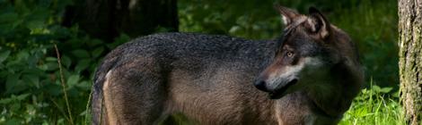 wolf-ki