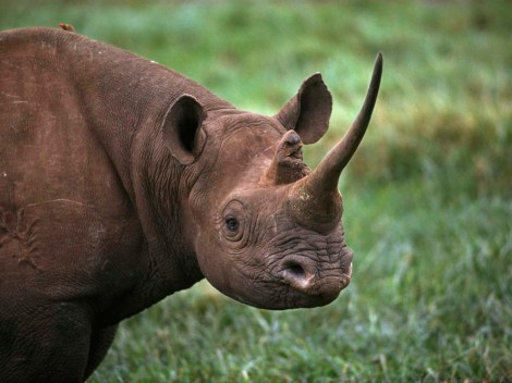 Black rhinos, like this beauty in Aberdare National Park, Kenya, are critically endangered. There are fewer than 6,000 in the wild. Photograph by Steve Raymer, National Geographic