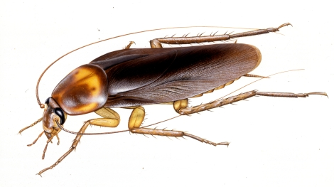 """New York's """"cockroach communities"""" all belong to this species, the American cockroach (Periplaneta americana). The smaller German cockroach (Blatella germanica) is also common, and more often found in apartments and kitchens. Illustration by Paul M. Breeden, National Geographic"""