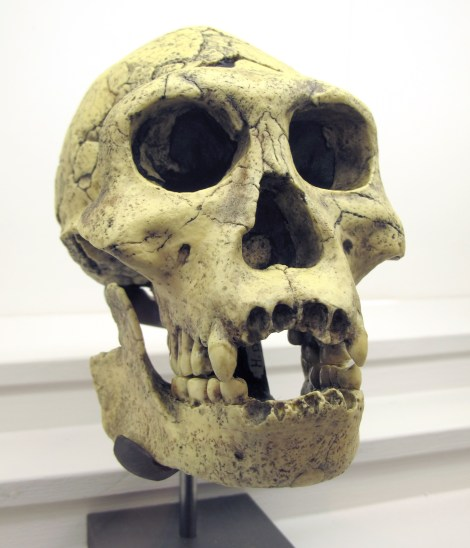This skull, unearthed in Dmanisi, Georgia, exhibits features of several different species of ancient humans (hominins): long, ape-like face, large teeth, and a tiny brain. It doesn't have a cute nickname like Lucy or Turkana Boy, though. Photograph by Rama, courtesy Wikimedia
