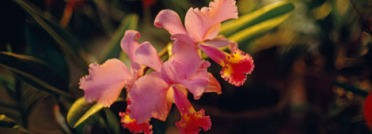 Rare orchids like this one can be sold for thousands of dollars on the black market. Photograph by Luis Marden, National Geographic
