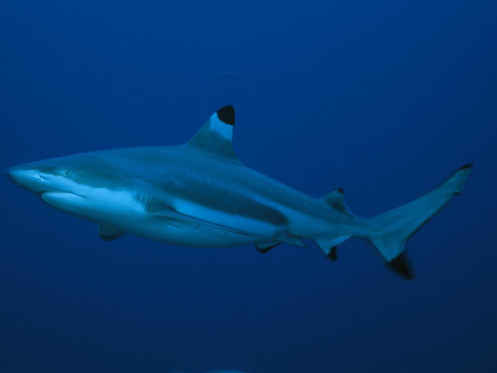 black tip shark bite - photo #5