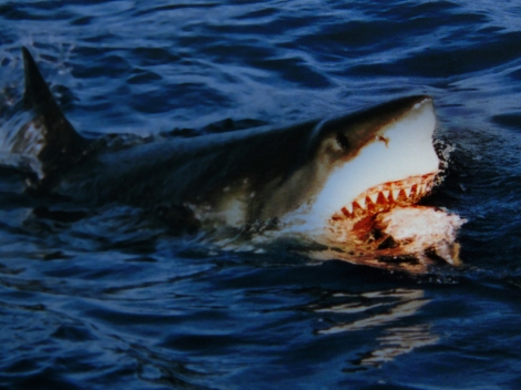 "Great white sharks are classified as having a ""vulnerable"" conservation status. (This shark isn't nearly as vulnerable as the tuna it's eating.) They are normally an ""offshore"" species and only occasionally swim into coastal areas. Photograph by Brocken Inaglory, courtesy Wikimedia. This file is licensed under the Creative Commons Attribution-Share Alike 3.0 Unported license."