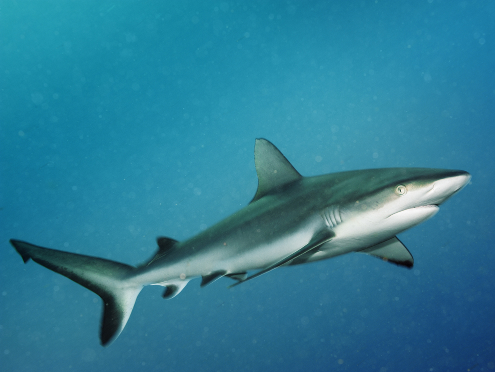 Grey reef sharks, another inshore species, feed primarily on fish near ... Shark