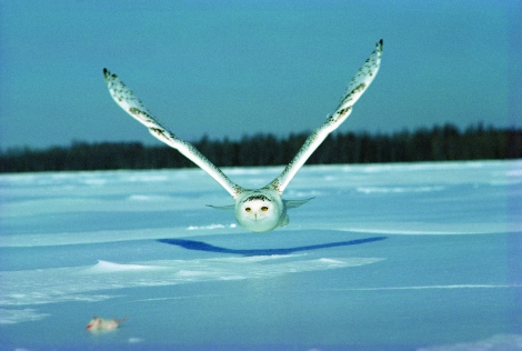 Snowy owls, like this one in rural Quebec, Canada, are migrating south in unusually large numbers. Some experts blame a shortage of lemmings, which this beauty is targeting in the Canadian tundra. Photograph courtesy the government of Quebec