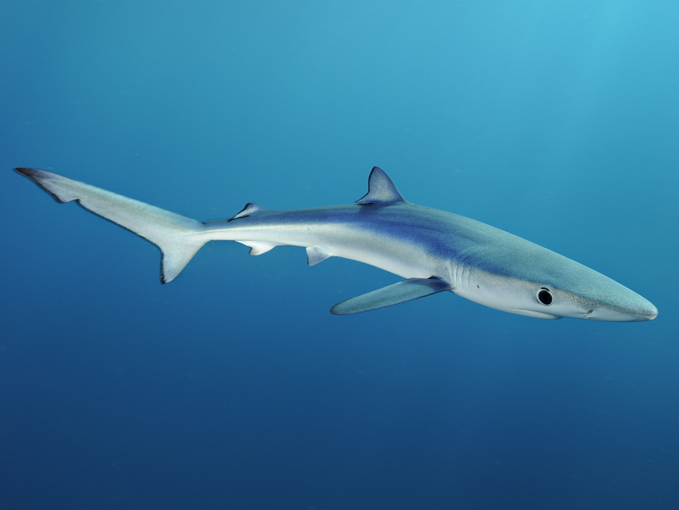 Another deadly shark attack in hawaii nat geo education blog for Are sharks fish
