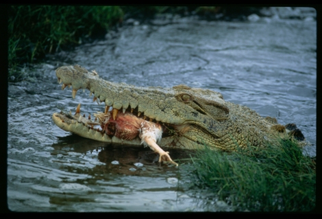 New guidelines from the Queensland, Australia, government warn people to never, ever feed crocodiles. This one, chowing down on a whole chicken, is lives in a licensed Queensland crocodile farm. Photograph by David Doubilet, National Geographic