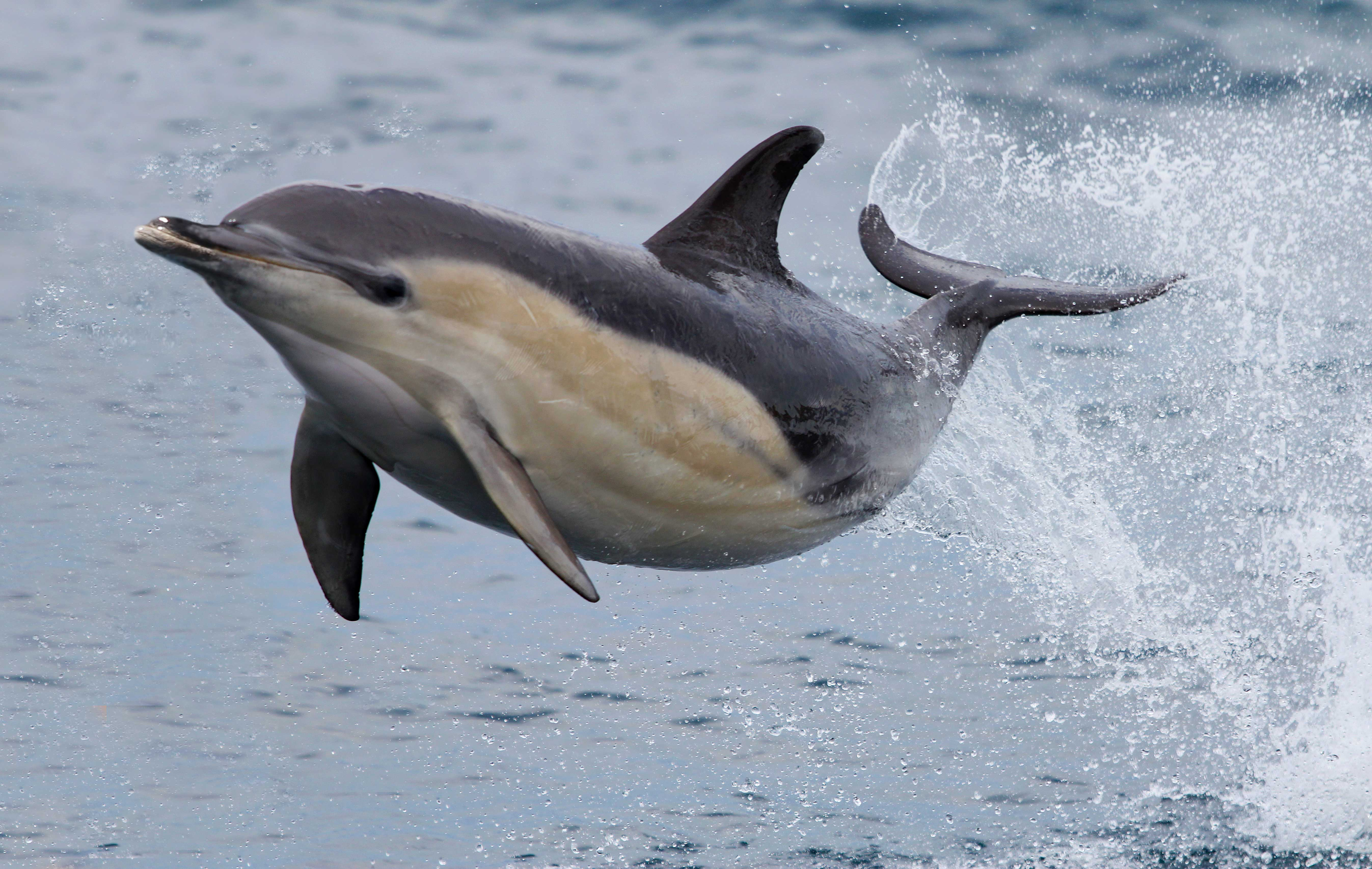 a dolphin u0027s speed is all in the hips nat geo education blog