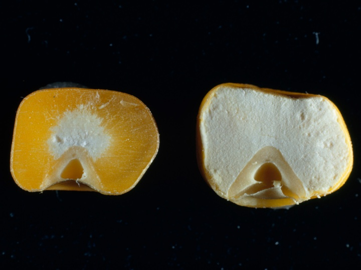 Genetically modified organisms have had specific changes introduced into their DNA. The genetically modified corn kernel on the right is enriched with more protein than the yellow, unmodified kernel on the left. Photograph by James P. Blair, National Geographic