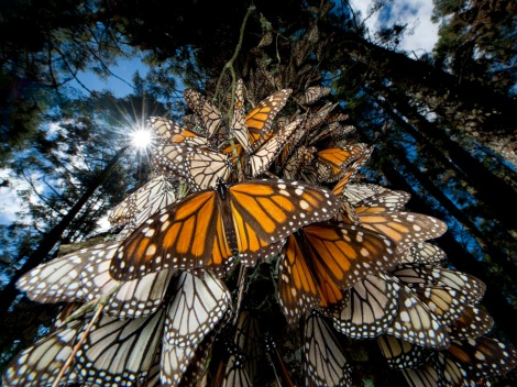 These monarchs are enjoying their shrinking wintering grounds in the Monarch Butterfly Biosphere Reserve, Sierra Chincua, Michoacan, Mexico. Joel Sartore is pretty good, but it's nearly impossible to take a bad photo of these insects. Photograph by Joel Sartore, National Geographic