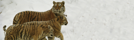 tigerski