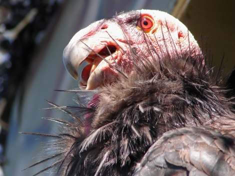 Vulture (OK, condor) Photograph by Stuart Thornton, National Geographic
