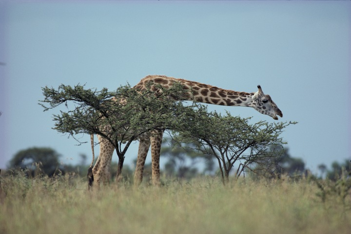 No, this isn't the L.A. Zoo and that tree isn't invasive. This gorgeous giraffe is assessing the all-natural acacia buffet in Serengeti National Park, Tanzania. Photograph by George F. Mobley, National Geographic