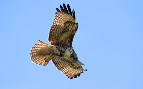 Red-tailed Hawk Photograph by Will Elder, courtesy National Park Service