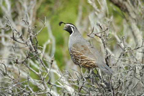 California Quail Photograph by Jessica Weinberg, courtesy National Park Service