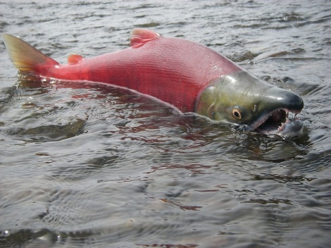 """Alaska's Choice: Salmon or Gold?"" asked National Geographic magazine. The salmon seem to have (at least for the time being) won. Photo courtesy of Thomas Quinn, University of Washington, and the Environmental Protection Agency"