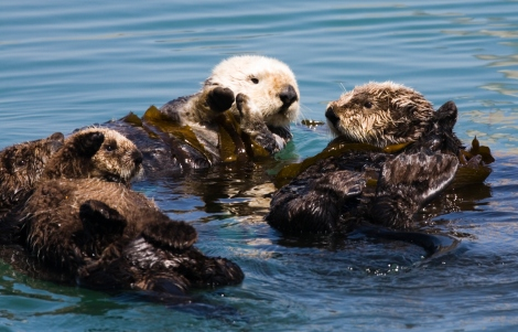 A group of sea otters is called a raft. This raft is a family of four—Mom and two pups on the left, and an adolescent or adult sea otter on the right. Notice the way the adults have anchored themselves to this spot in the ocean by wrapping long strands of kelp (seaweed) around their bodies. Also, the cuteness. Photo by Mike Baird. This file is licensed under the Creative Commons Attribution 2.0 Generic license.