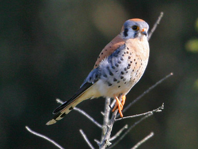 The American kestrel, the F-14 of the raptor world, is able to dive at 60 miles per hour. Photograph by Will Elder, courtesy National Park Service