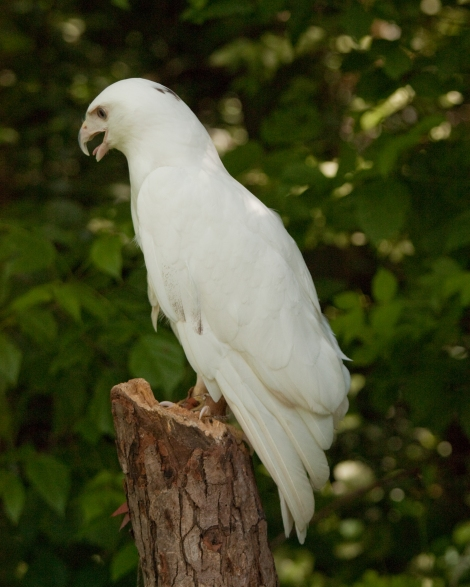 This red-tailed hawk is leucistic. Leucism is a genetic mutation that simply means the animal has reduced pigmentation. (Albinism means an entire lack of pigmentation.) This red-tailed hawk may lack the feature that gives it its name (a lovely red tail), but its eyes are typically dark and it retains a smattering of color on its head. Photograph by Greg Hume, courtesy Wikimedia. This file is licensed under the Creative Commons Attribution-Share Alike 3.0 Unported license.