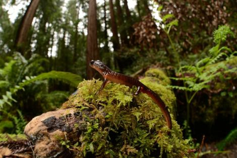 You know what else runs across branches like that? Salamanders like this one, studied by Nat Geo grantee Rudolf von May.  Photograph courtesy National Geographic
