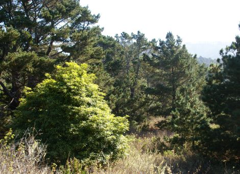 This beautiful stand of Monterey pines thrives in its native habitat along the chaparral woodland of Point Lobos State Reserve, California. Outside isolated pockets of California's Central Coast, Monterey pines have been cultivated for lumber. They are such fast-growing trees they are often considered invasive species. Photograph by David Baron, courtesy Wikimedia. This file is licensed under the Creative Commons Attribution-Share Alike 2.0 Generic license.