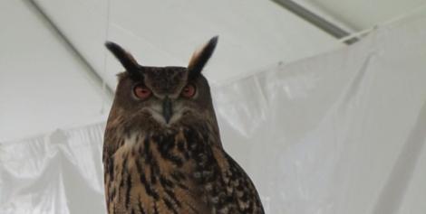 raptors-eurasian-eagle-owl