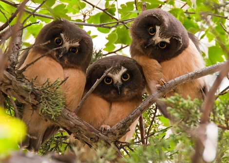 "It bustled with visitors at night! We ran into one inventory group trying to meet the beetles, another canvassing for salamanders, and a lot of latecomers to the owl inventory asking ""who?"" We heard these juvenile northern saw-wheat owls, but, alas, never found out who they were. Photograph by Kathy and Sam, courtesy Wikimedia. This file is licensed under the Creative Commons Attribution 2.0 Generic license."
