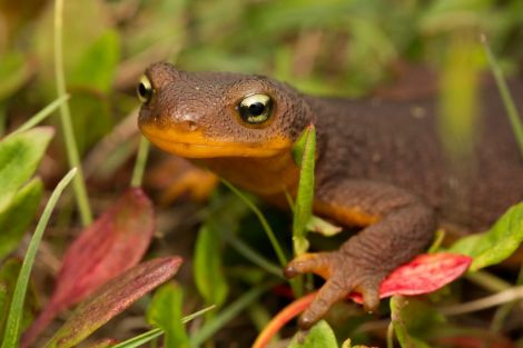 This cute newt was discovered. Photograph by Neil Losin
