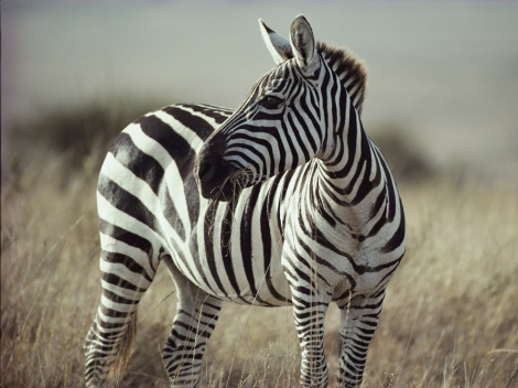 A zebra's skin is black; only its fur is distinctively striped. The patterns are as unique as fingerprints—no two are exactly alike—although each zebra species has its own general pattern. Photograph by George F. Mobley, National Geographic