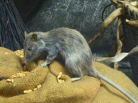 Black rats (Rattus rattus, a rodent so nice they named it twice) have been blamed for the Black Death for more than 500 years. Unfairly, it turns out. Photograph by H. Zell, courtesy Wikimedia. This file is licensed under the Creative Commons Attribution-Share Alike 3.0 Unported license.