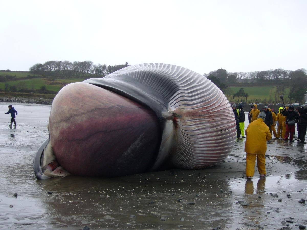 Blue Whale Heart Size Comparison How Big Is A Blue Whales Heart Nat