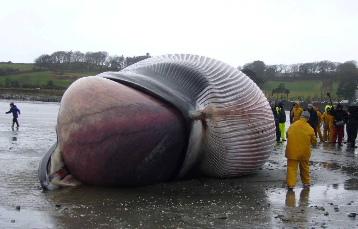 How Big is a Blue Whale\'s Heart?