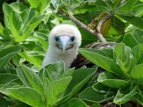 Marine sanctuaries protect terrestrial creatures, such as this inquisitive red-footed booby, too. Limits on fishing protects the booby's primary food source. Photograph by Laura M. Beauregard, courtesy U.S. Fish and Wildlife Service.  This file is licensed under the Creative Commons Attribution 2.0 Generic license.