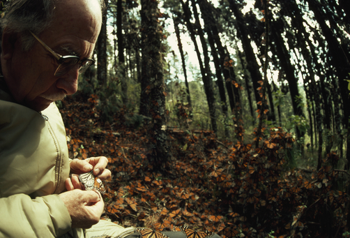Fred Urquhart examines a butterfly. Photo by Bianca Lavies.