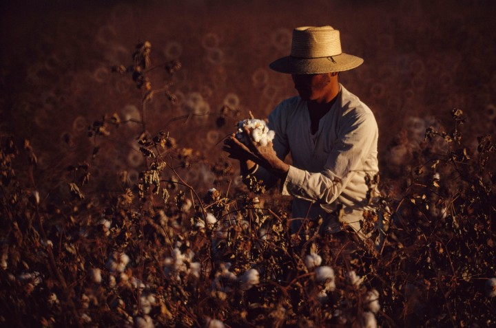 A harvester examines a boll of cotton, harvested for fiber as well as oil, in Mexicali, Baja California, Mexico. Photograph by Michael E. Long, National Geographic