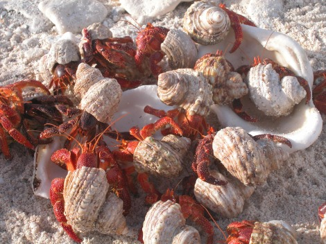 Howland Island, another area protected by the new marine reserve, is home to some of the most conservation-minded crustaceans—hermit crabs that reuse and recycle snail shells as mobile homes. Photograph by C. Eggleston, courtesy U.S. Fish and Wildlife Service.  This file is licensed under the Creative Commons Attribution 2.0 Generic license.